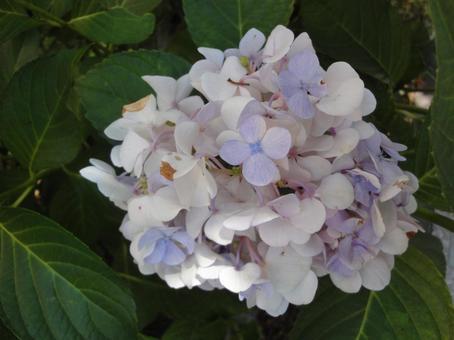 Coloring hydrangea