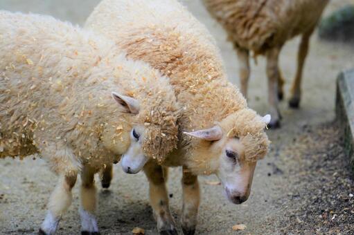 Playing sheep