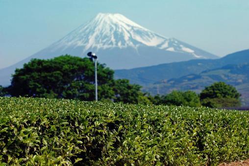 Tea picking while watching Fuji