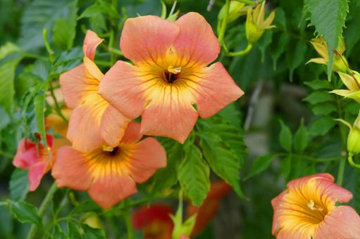 Chinese trumpet vine in full bloom entwined with other trees