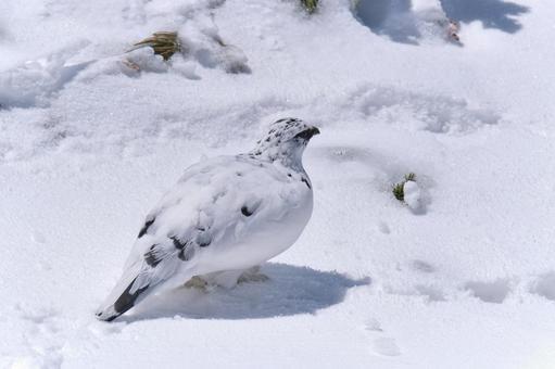 설원 위의 겨울 깃털 뇌조 수컷 (후면)