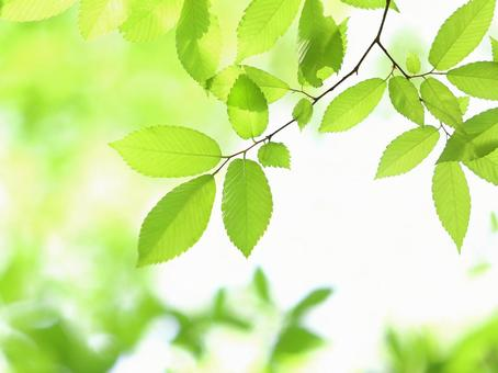 Fresh green leaves of zelkova zelkova