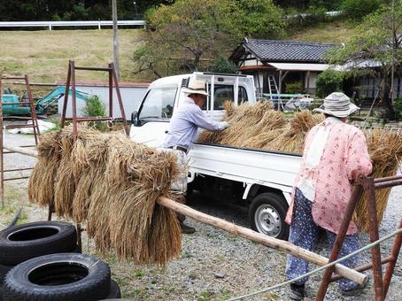 Farmer loading rice on light tiger