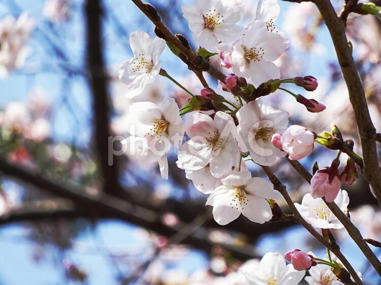 桜咲くの写真