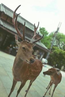 나라 공원의 사슴의 친자