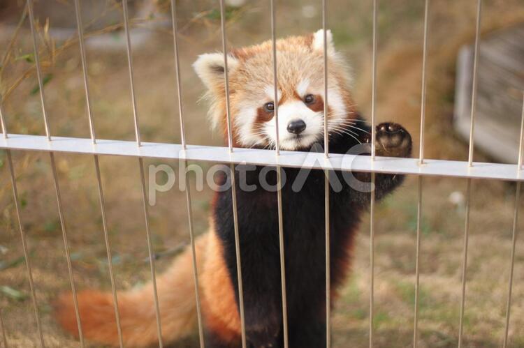 動物園のレッサーパンダの写真