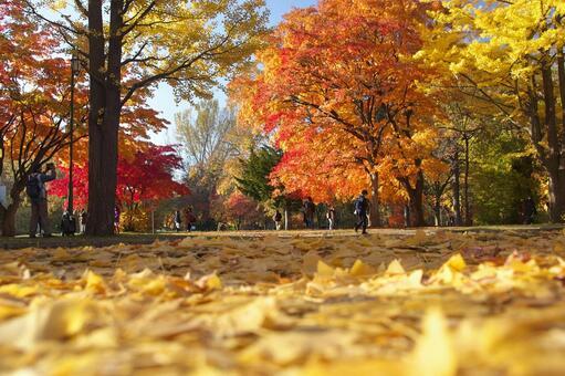 Popular! Huang leaves of ginkgo tree trees of Hokkaido University