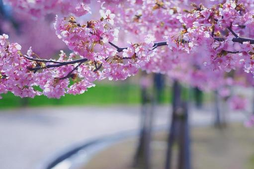 Cherry blossom path of happiness