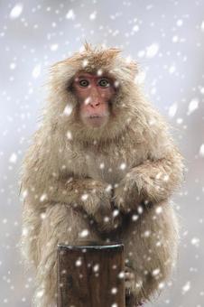 冬天雪和野生猴子
