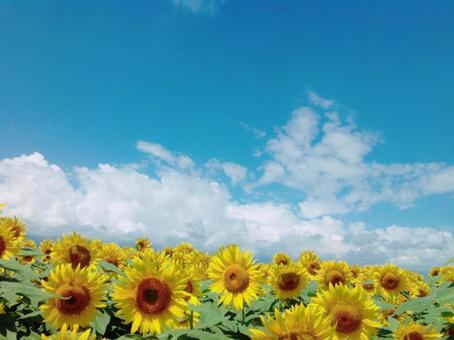 A picture-like, sunflower field, blue sky and white cloud