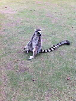 Wolf lemur 2