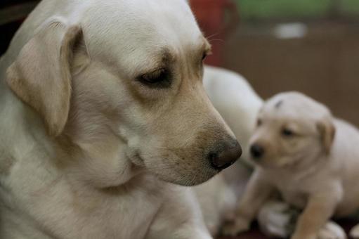 Dogs of animals and parents Labrador Retriever