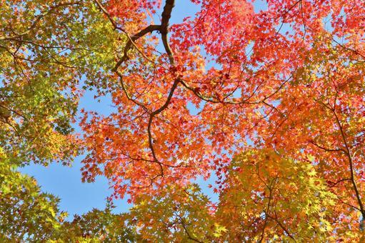 Autumn leaves maple maple sky autumn