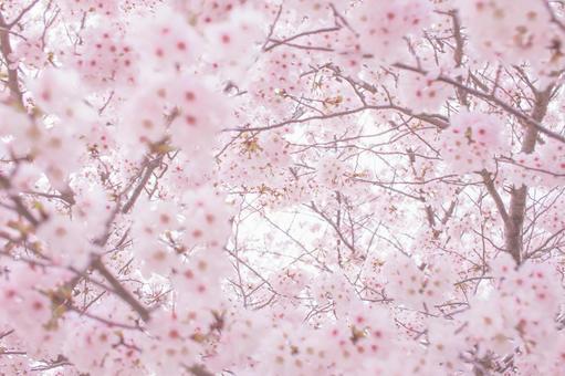 벚꽃 업 23