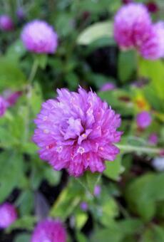 センニチコウ [Globe amaranth]-013