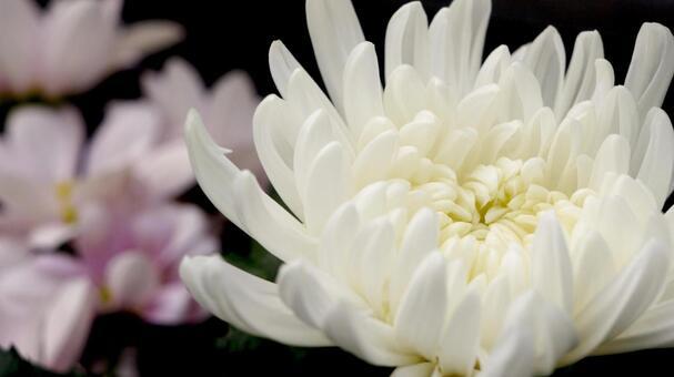 흰 국화 꽃 불화