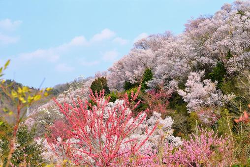 Hanamiyama 5 in the northern country where flowers all together in bloom at once