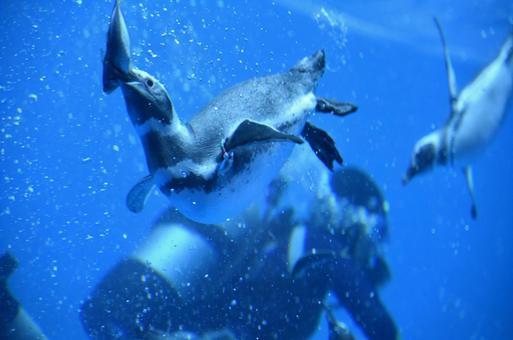 Penguins catching fish