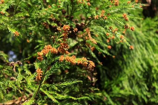 Male flower pollen of cedar