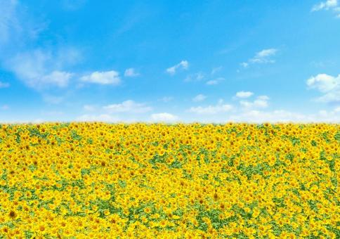 Blue sky and sunflower field summer image