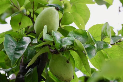 卡林樹與水果
