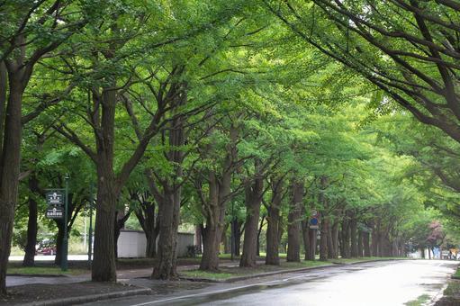 Rain guts of Hokkaido Univ. Namiki Rain early fall rain