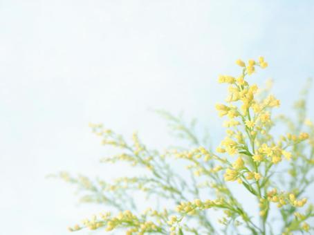 蓬鬆的小花(Soliduster)
