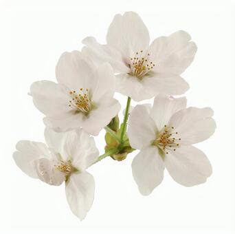 Crop picture material Cherry blossom petals 16-02