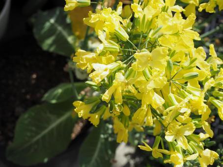 콜리 플라워의 꽃