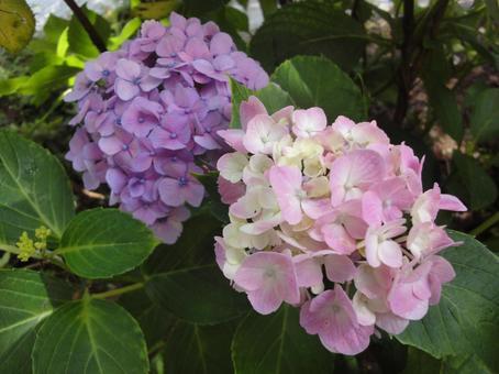 Purple and pink hydrangea