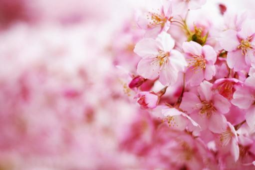 벚꽃 피다 만발한 벚꽃 나무