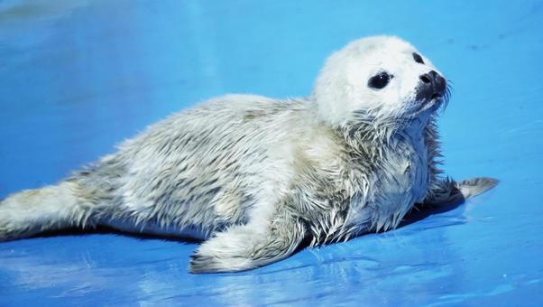 Cute baby seal