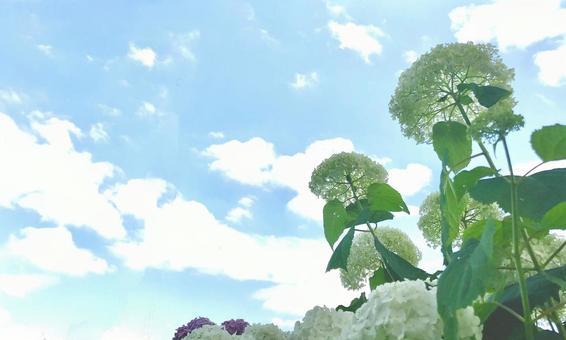 Hydrangea blooming toward the sky Background Hydrangea Annabel 1