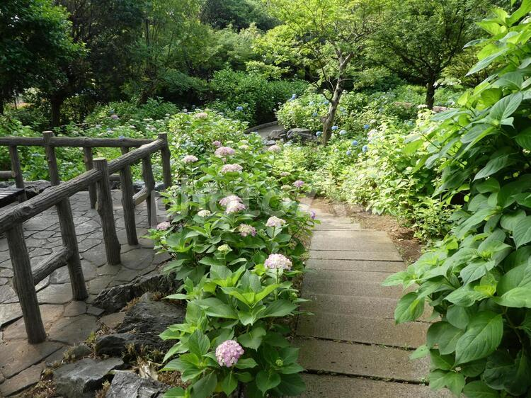 多摩川台公園のあじさいの写真
