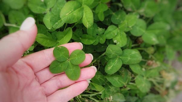 Four Leaf Clover Good Luck Happiness Image Background Copy Space