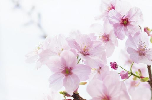 Sakura 34
