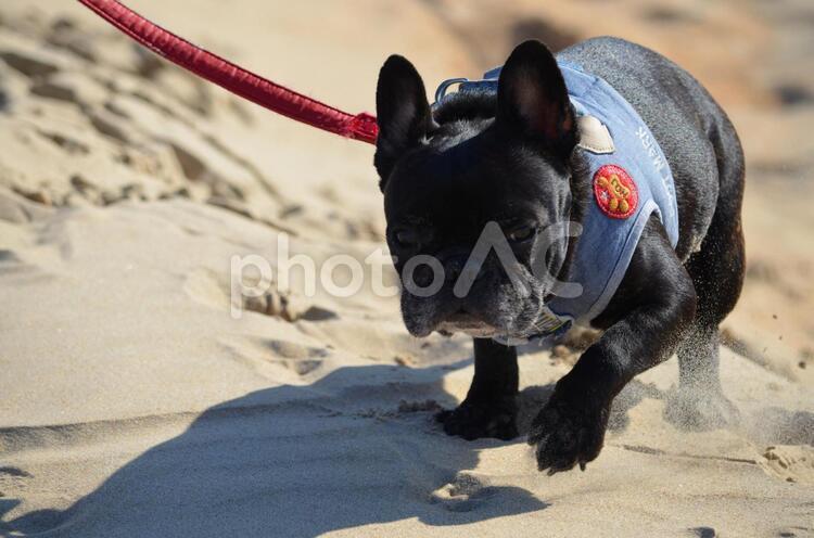 フレンチブルドッグが砂場での写真