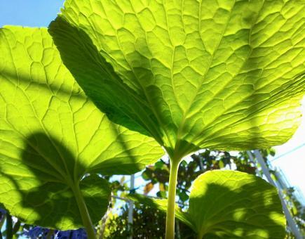 밭 고추 냉이의 잎 뒷면에서