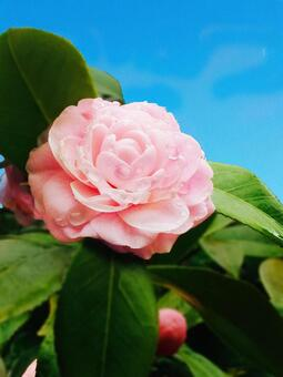 Camellia wet with blue sky blooming morning dew