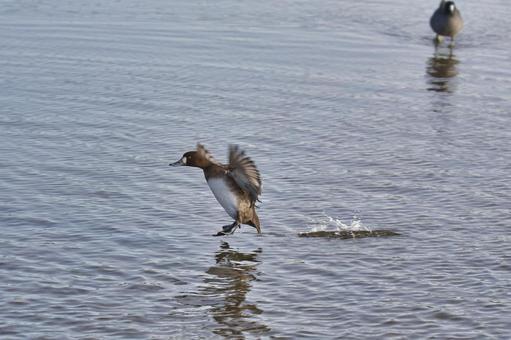 スズガモの雌が着水する様子  バーナビー ブリティッシュコロンビア カナダ
