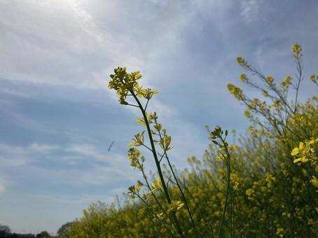유채 꽃과 푸른 하늘