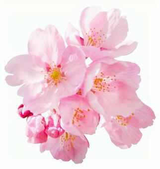 Kawazu Sakura (PSD with background transmission, clipping path included)