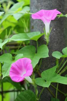 Morning glory pink 5