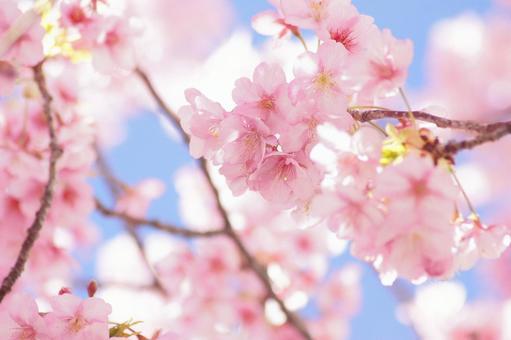 빨리 피는 벚꽃 -343