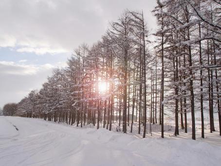 겨울의 홋카이도, 낙엽송 방풍림