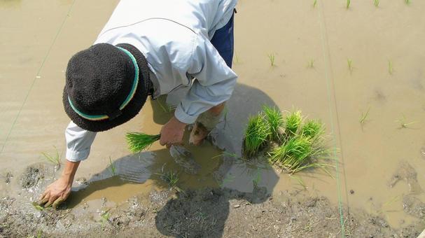 모내기 남성 手植え 벼농사 자연