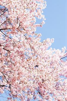 Cherry tree in full bloom