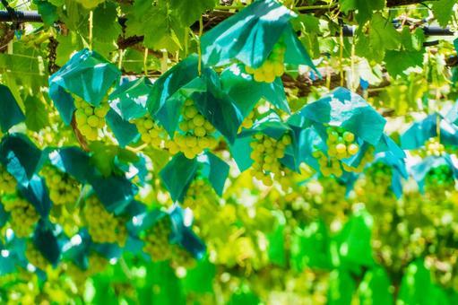 Grape hunting Shine Muscat (Grape hunting 20)