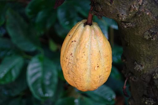 Cacao fruit that becomes a tree