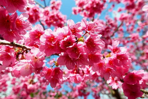 Beautiful scarlet cherry blossoms